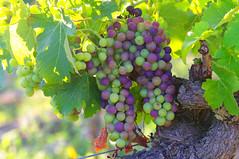 le rveil des vignes en Hermitage (delphine imbert) Tags: raisin vignes vignoble hermitage drome nature vin