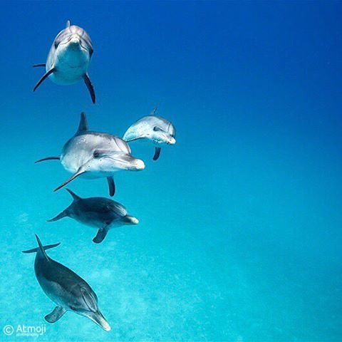 Five juvenile Atlantic Spotted #dolphins coming to say hello. This is #WildQuest #photofthemonth as a #wallpaper and you can download it from https://www.wildquest.com/program/media/wallpapers/ #itsbetterinthebahamas #dolphinswim #wildandfree #wilddolphin
