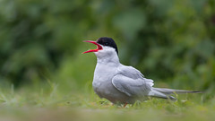 Laying low (Wizmatt) Tags: farne islands northumberland aonb coast birds wildlife matt wisby photography canon 70d terna paradisaea arctic tern nest inner island