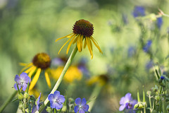 Flowers (mclcbooks) Tags: flower flowers yellow purple blue green floral denverbotanicgardens colorado