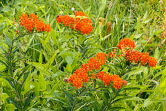 Asclepias tuberosa (butterfly weed), reddish orange individual (tgpotterfield) Tags: chestercountypa longwood meadowgarden asclepiastuberosa asclepias apocynaceae butterflyweed kennettsquare pennsylvania usa