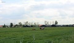 zicht op Laagnieuwkoop (bcbvisser13) Tags: landschap weiland koeien laagnieuwkoop buurtschap stichtsevecht provincieutrecht nederland eu