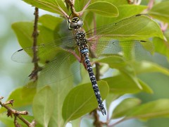 Migrant Hawker (Male) (ukstormchaser (A.k.a The Bug Whisperer)) Tags: migrant hawker hawkers uk dragonfly dragonflies fly flies animal animals wildlife milton keynes