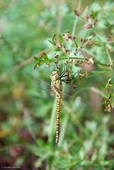 (Mathias Dezetter) Tags: odonate libellule inect insecte insect invertébré arthropode faune fauna animal animaux wildlife imago