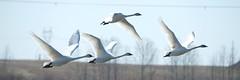 DSC_1420 (KevinYMa) Tags: bird nature tundraswan
