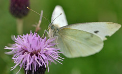 small white on a creeping thistle flower (conall..) Tags: raynox dcr250 butterfly pieris rapae pierisrapae small white smallwhite creeping thistle creepingthistle cirsium arvense cirsiumarvense macro probiscis slightlytattered tullynacree eye spots