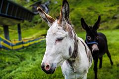 Kitzsteinhorn (Tuomo Lindfors) Tags: itvalta austria sterreich topazlabs dxo filmpack clarity kaprun kitzsteinhorn aasi donkey
