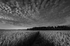 Feldweg (jan.scho) Tags: schwarzweis roggen gerste weizen feld aehre sommer wolken wolkenformation wald weg schneise reif wetterau korn juli