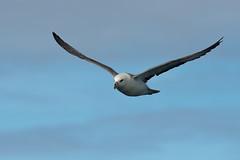 Fulmar4 (lnrwildphoto) Tags: bird fulmar petrel nikon d4 300mm f28 seabird pelagic scilly