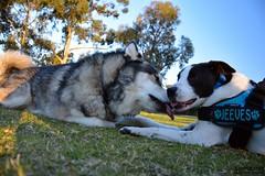 DSC_0041-1 (ScootaCoota Photography) Tags: dog pet animal border collie labrador park play outdoors nature malamute