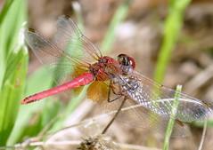 Sympetrum fonscolombii  (M a r i S ) Tags: dragonfly libellula sympetrumfonscolombii cardinalevenerosse redveineddarter nomad