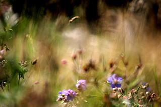 Meadow impressions  I
