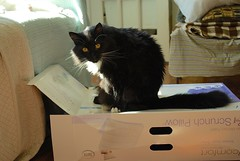sweet, silly Batman (rootcrop54) Tags: batman longhair tuxedo male box macska kedi  koka kissa  kttur kucing gatto  kais kat katt katzen kot  maka maek gorbe kitteh chat