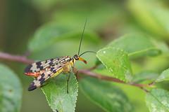 Skorpilgy nstny (Panorpa communis) (A piece of nature.) Tags: skorpilgy panorpa communis insect rovar makr macro