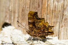 Robert le Diable (Corinne Mnardi) Tags: papillondejour rhopalocres nymphalidae papillon insecte polygonia calbum lpidoptre macro