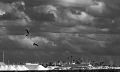 Cazando entre las nubes (Fotgrafo-robby25) Tags: aves byn fujifilmxt1 marmenor nubes parqueregional salinasyarenalesdesanpedrodelpinatar