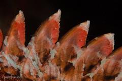 DSC_6839 (bajo_el_mar) Tags: 2016 cantbrico lastres scorpaenaporcus underwater cabracho fotosub pez