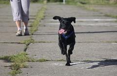 Scarpa on the Old Airstrip (alasdair massie) Tags: dog labradorpointercross holiday labrador scarpa vizler