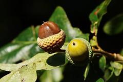Eichel (Hugo von Schreck) Tags: outdoor hugovonschreck bug wildflower wildblume flower canoneos5dsr tamron28300mmf3563divcpzda010