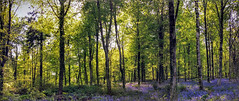 Bluebell Panorama (stevenlparry) Tags: summer flower woodland tree spring nature