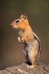 golden mantled ground squirrel fort rock oregon (lee barlow) Tags: d800 fortrock goldenmantledgroundsquirrel leebarlow oregon