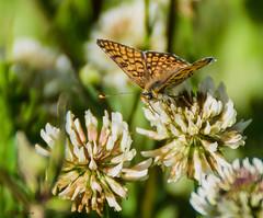 Papillon - Butterfly - Mariposa (Kaya.paca) Tags: papillon mariposa butterfly spring printemps primavera soleil sole sun prairie pradera nature insecte flickrunitedaward