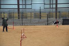 agility254 (jaimekay16) Tags: dog training austin agility k9 xpress nadac k9x