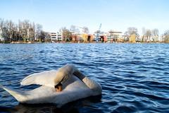 cleaning swan (fidel_barto) Tags: water swan wasser schwan treptowerpark sonyslta58