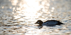 Spring at Østensjøvannet (Reynald HENRY) Tags: lake oslo norway norge duck nikon wildlife 300mm d750 f28 afs goldeneye