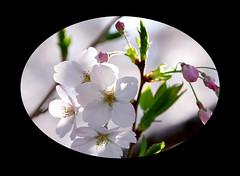 "A piece of cherry blossoms (karakutaia) Tags: sun tree love nature japan paper temple tokyo heart afotando ""flickraward"" flickrglobal allbeautifulshotsandmanymoreilovenature flowerstampblackandwhite transeguzkilorestreetarturbanagreatshotthisisexcellentcontestmovementricohgxr""serendipitygroupbluenatureicapturecardjapanesepapercardflickraward5""j trasognoerealtabstractelementsorganizersimplysuperb"