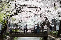 628A3291 (TetuNotable) Tags: kyoto sakura kiyamachi