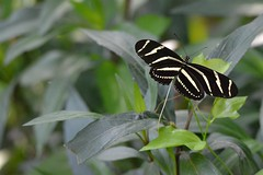 Zebra Longwing (Heliconius charitonia) (blthornburgh) Tags: butterfly garden backyard vine