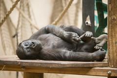 2015-05-11-09h57m34.BL7R0850 (A.J. Haverkamp) Tags: amsterdam zoo gorilla thenetherlands artis dierentuin douli httpwwwartisnl canonef100400mmf4556lisusmlens pobamsterdamthenetherlands dob27022012