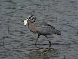 Great Blue Heron (Ardea herodias) with Fish