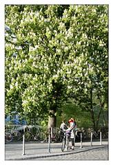 chestnut tree (PIKTORIO) Tags: street tree berlin green nature sunshine germany spring blossoms urbannature chestnut proportions inkognito roterbalken piktorio redbarface