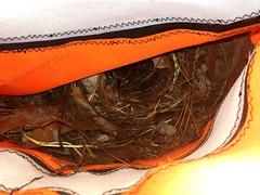 Wren Baby (zxgirl) Tags: bird birds animal animals nest aves wren wrens animalia songbird windsock carolinawren songbirds thryothorusludovicianus passeriformes carw chordata neornithes troglodytidae thryothorus neoaves passeri passerida taxonomy:binomial=thryothorusludovicianus certhioidea noegnathae windsocknest