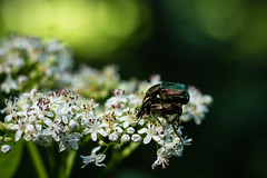 Flower chafers (herzoli) Tags: flowerchafer flower chafer danewort