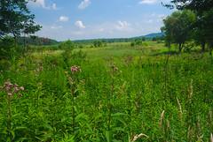 Meadow (wackybadger) Tags: grass wisconsinstatenaturalarea nikond60 flower meadow buffalocounty spottedjoepyeweed clouds bluesky nikon1855mmf3556gafsvr pink wisconsin eutrochiummaculatum sky sna346 nikon trempealeaurivermeadowsna