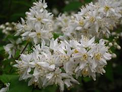 blossom (VERUSHKA4) Tags: white branch bough summer june botanic garden moscow city russia canon vue view ville fleur album flora petal pistil stamen