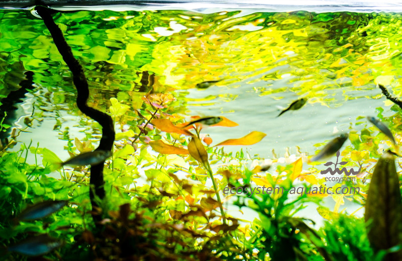 Aquascape Udang