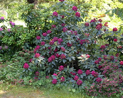 my rhododendron jungle 2015 (2) (kexi) Tags: flowers many rhododendrons pink red green garden gniazdowo poland canon june 2015 instantfave
