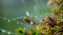 A rainy Summer day (nemi1968) Tags: canon canon5dmarkiii ef100mmf28lmacroisusm july markiii bokeh closeup droplet droplets grass green macro rain raindrop raindrops reflection summer water ngc
