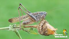 Platycleis albopunctata (Jn Svetlk) Tags: orthoptera tettigoniidae zber472016