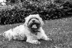 Scamp (Wayne Cappleman (Haywain Photography)) Tags: portrait dog pet playing photography george king wayne hampshire v fields farnborough haywain cappleman