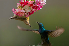 Fly Away With Me ( Purple Sunbird Pair ) (Irtiza Bukhari) Tags: pakistan two lake bird love nature beauty birds eos purple singing song pair small sunbird bukhari conon 70d irtiza cononeos70d uchaali