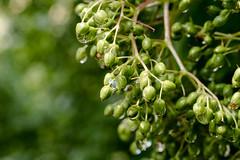 Holunderdolde nach Regen und Hagel - Elderberries after Rain and hailstorm (riesebusch) Tags: berlin garten marzahn