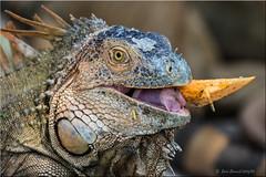 'wild and free' (d-lilly) Tags: costarica costarica2016 iguana naturestapestryphotoadventuretours