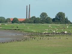 River Ems - mixed company (achatphoenix) Tags: ems riverems emsziegelei ostfriesland eastfrisia ufer riverside riverbanks mixedcompany gemischtegesellschat animals geese sheep midlum