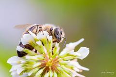Bee (Diego Pianarosa (aka Pinku)) Tags: 70d 90mm ape bee bokeh canon colors composition diegopianarosa insetto italy macro pinku plamp soe tamron