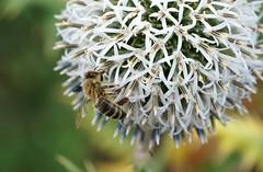 Bee Base Camp (SteveJM2009) Tags: echinops globethistle white bee dof focus bokeh detail kingstonlacy dorset uk july 2016 summer stevemaskell naturethroughthelens